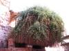 Krzew, będący potomkiem Gorejącego Krzewu