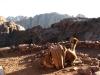 Wielbłąd po trasie z Góry Synaj to widok normalny