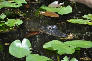 USA, Park Narodowy Everglades na Florydzie