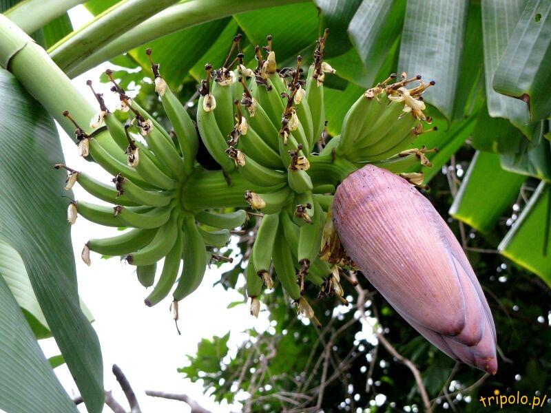 Owoce bananowca (w trakcie dojrzewania)
