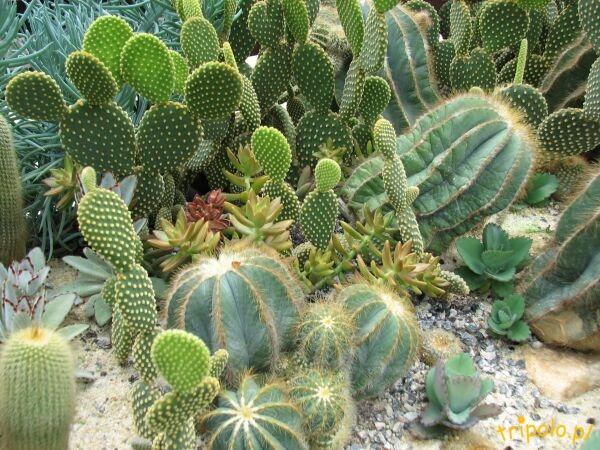 Kolonia kaktusów