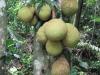 Owoce chlebowca
