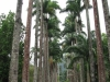 Piękna aleja palmowa