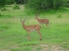Tanzania, safari - antylopy impala