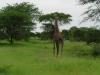 tnz_safari_085