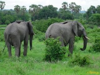 Tanzania, safari - jego dostojność SŁOŃ x2