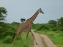 Tanzania, safari cz.2 - zebry,  żyrafy, słonie i antylopy