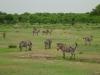 Tanzania, safari - zebry na sawannie
