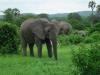 Tanzania, safari - jego dostojność SŁOŃ
