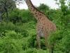 Tanzania, safari - jej dostojność ŻYRAFA
