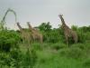 tnz_safari_072