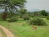tnz_safari_080