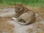 Tanzania, safari cz.3 - wreszcie pojawiają się i lwy!