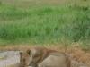 Tanzania, safari - stado lwów nad rzeką
