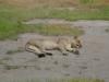 tnz_safari_114