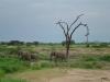 tnz_safari_119