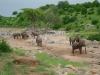 Tanzania, safari - stado słoni nad wyschniętą rzeką