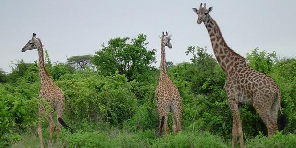 Gdzie na Safari do Tanzanii? – Parki Narodowe w Tanzanii – WYCIECZKA i porady praktyczne cz.3/3